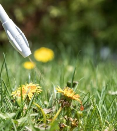 DSLR picture of spraying herbicide on Dandelion